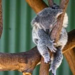 Is It a Koala? Artificial Intelligence in Javascript and TensorFlow.js